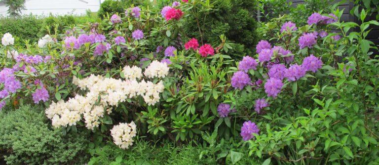 Rhododendron i vores haveanlæg